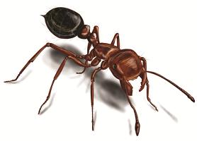 OBM | Kruipende insecten | Glanzende houtmier