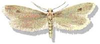 OBM | Vliegende insecten | Pelsmot
