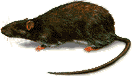 OBM | ratten bestrijden rattenbestrijding ongedierte | Plaagdieren