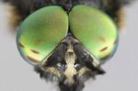 OBM | Vliegende insecten | Daas