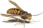 OBM | wespen bestrijden wespenbestrijding ongedierte | Plaagdieren