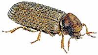OBM | Houtaantastende insecten | Bonte Knaagkever
