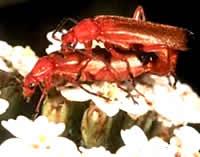 OBM | Houtaantastende insecten | Heipaalkever