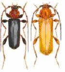 OBM | Houtaantastende insecten | Veranderlijke boktor
