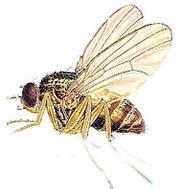 OBM | Vliegende insecten | Fruitvlieg