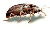 OBM | Materiaal aantastende insecten | Plaagdieren