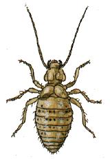 OBM | Kruipende insecten | Stofluizen